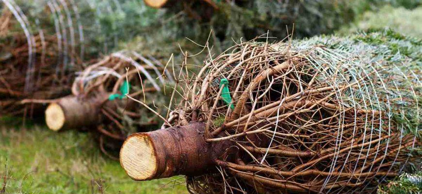 """Pokud je mi známo, tak drtivá většina stromků, které se prodávají o vánocích, není z lesa, ale je vypěstována na nějaké """"farmě/plantáži""""."""